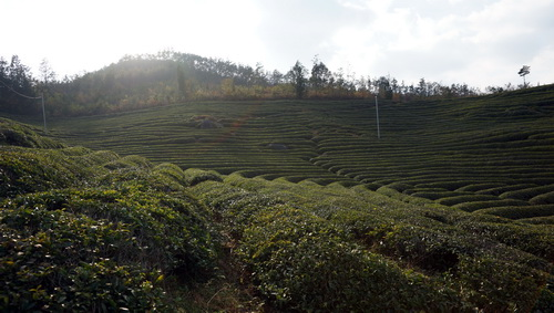 nokchawon organic tea farm in bosung, korea