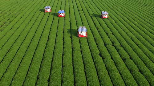 nokchawon green tea farm by drone